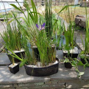 Pond Plant Care